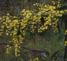 Winter Wattles by Lozzar Flowers & Art