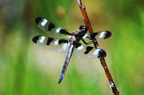 Twelve Spotted Skimmer by Rodney Campbell
