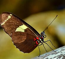 Heliconius Doris, or Doris Longwing Butterfly by Eileen Brymer