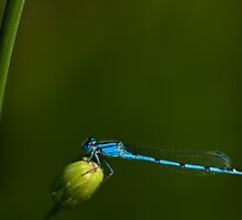 Azure Damselfly by onyonet photo studios