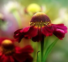 Helenium by Mandy Disher