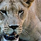 Lioness by BacktrailPhoto