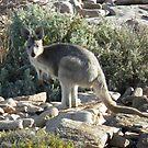 Euro (Macropus robustus) - Black Point, South Australia by Dan & Emma Monceaux