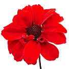 Red Dahlia by Rewards4life