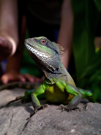 Chinese Water Dragon by Jay Taylor