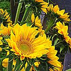 Summer Sunflowers at a Farmer's Market by kflanary