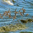 WESTERN SANDPIPERS by Sandy Stewart