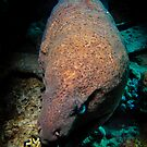 Moody Moray...... by shellfish