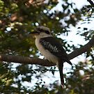 Laughing Kookaburra, Dacelo novaeguineae #2 by Odille Esmonde-Morgan