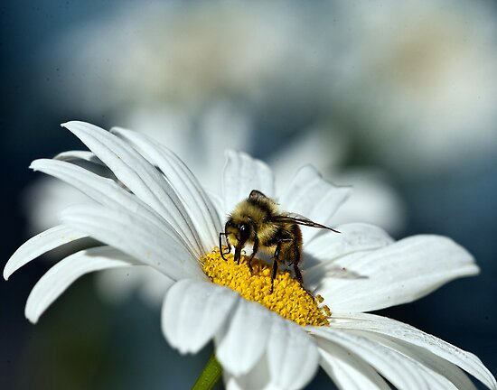 Bee on Daisy by David Friederich