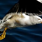 Pacific Gull by UncaDeej