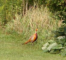 Ringneck Pheasant by vigor