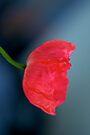 Crimson Poppy by Renee Hubbard Fine Art Photography