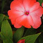 Tropical Impatiens (1) by goddarb