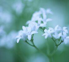 Galium Odoratum  - JUSTART ©  by JUSTART