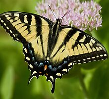 Eastern Tiger Swallowtail by KAREN SCHMIDT