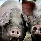 A right pigs ear! by Paul Hickson