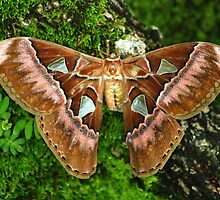 Giant Silk Moth (Rothschildia aurota speculifera) - Bolivia by Jason Weigner