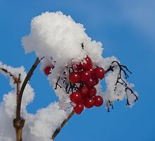 Winter Berries in Snow by GrahamCSmith