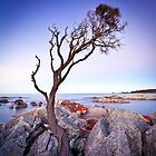 Binalong Bay Tree, Binalong Bay, Tasmania by Matthew Stewart