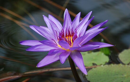 Water Lilly by Vac1