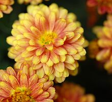 Chrysanthemum by vbk70