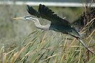 Heron in flight by Margaret  Shark