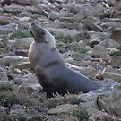 Australian Sea Lion (Neophoca cinerea) - Fitzgerald Bay, South Australia by Dan & Emma Monceaux