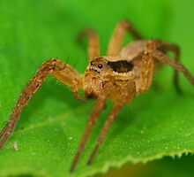 wold spider by davvi