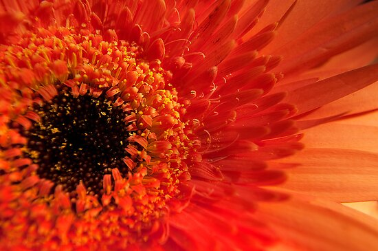 Orange Gerbera by Jaxybelle