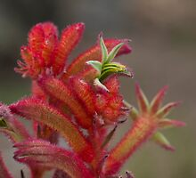 Big Red Kangaroo Paw by normanorly