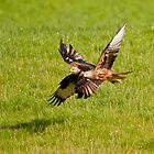 Red Kites by Margaret S Sweeny