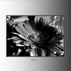 Chrysanthemum in Black and White by abercot