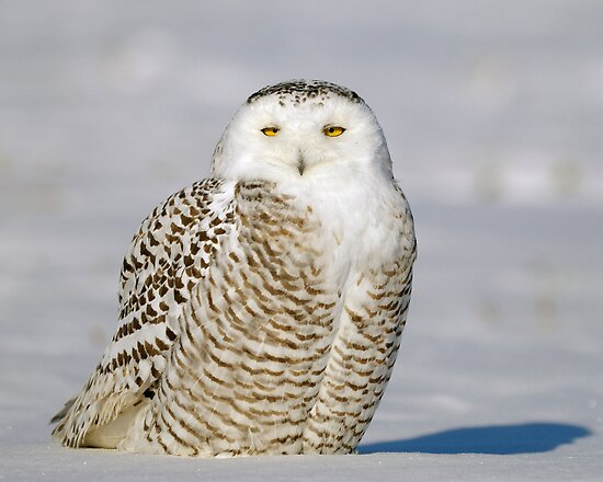 Contented Snowy Owl by Heather Pickard