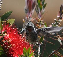 Hummingbird in the Bottle Brush by westcountyweste