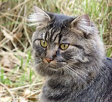 Spook the Maine Coon by dgscotland