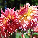Test Garden Dahlias by Marjorie Wallace