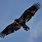 Yellowstone 2011 - Golden Eagle or Young Bald Eagle by Dennis Stewart
