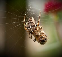 Garden Cross Spider (Araneus diadmatus) by DonMc