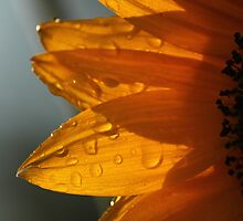 Petals And Droplets  by yampy