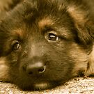 Puppy Dog Eyes-(German Shepherd Puppy) by Lou Wilson