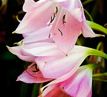 Pink Lilys by George Lenz