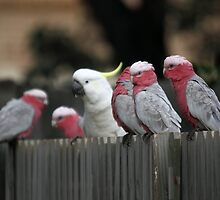 Galahs and Cockatoo by yolanda