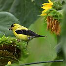 Greedy Goldfinch by Renee Blake