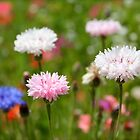 Blue, pink and white Cornflower, Bachelor Button Photograph by Kerry McQuaid