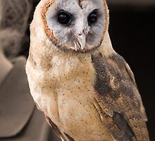 Ashy faced barn owl by LorrieBee