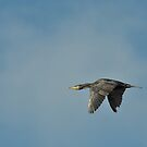 A Shag (Phalacrocorax aristotelis) in flight by Chris Monks