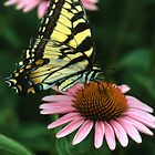 Swallowtail on Echinacea by Bill Spengler