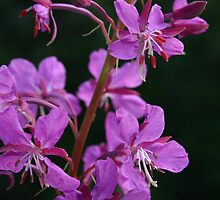blooming fireweed, prince william sound by Orna Izakson, ND, RH (AHG)
