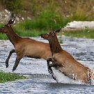 Yellowstone 2011 - Elk by Dennis Stewart